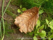 Autumn Leaf, New Grass