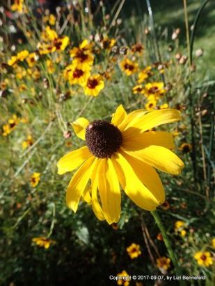 Various yellow wildflowers