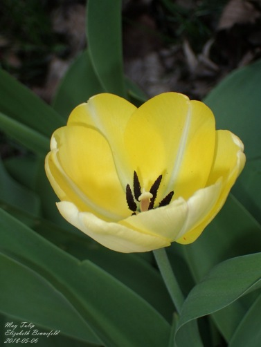 May Tulip, Elizabeth Bennefeld (2018-05-06)